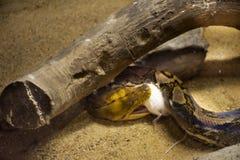 Retikulierte Pythonschlange weiße Ratte im Käfig am allgemeinen Park in Bangkok, Thailand essen lizenzfreie stockfotografie
