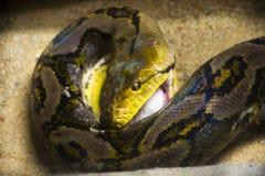 Retikulierte Pythonschlange weiße Ratte im Käfig am allgemeinen Park in Bangkok, Thailand essen lizenzfreies stockfoto