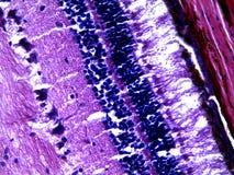 Retina humana debajo del microscopio imágenes de archivo libres de regalías