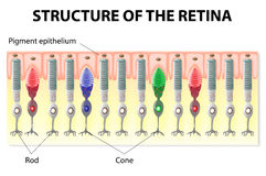 Retina structure. Eye and Vision. structure of the retina. Rods and Cones. Vector diagram vector illustration