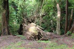 Retiré avec l'arbre de racines après l'ouragan en parc Photos libres de droits