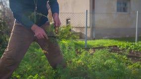 Retirando e aderindo-se a cenoura de um jardim home vídeos de arquivo
