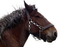 Retired draft horse. Isolated old retired draft horse Royalty Free Stock Images