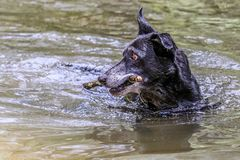 Retired farm dog enjoying pinecone retrieving stock images