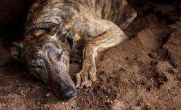 Retired greyhound taking a nap. On ground Stock Images