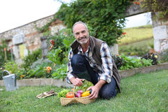 Retired man picking up vegetables in garden Royalty Free Stock Photography