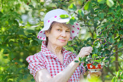 Retired older woman picking mespilus Stock Images