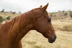Retired Race Horse Royalty Free Stock Photo