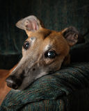 Retired Racing Greyhound Royalty Free Stock Photography