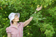 Retiree woman checks green apples on tree Royalty Free Stock Images