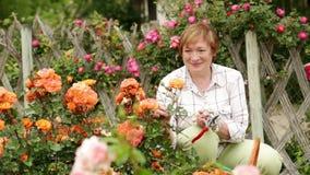 Retiree woman gardening. Portrait of cheerful retiree woman gardening bush roses outdoors in yard stock footage