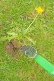 Retirer des pissenlits de la pelouse. Photographie stock libre de droits