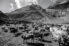 Retour des bétail Images libres de droits