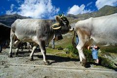Retour des bétail en Alto Adige Photographie stock libre de droits
