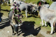 Retour des bétail en Alto Adige Photo stock