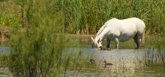 Retourner le cheval avec des canards Images libres de droits