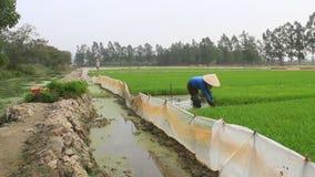 Retrait d'agriculteur tirant des jeunes plantes de riz clips vidéos