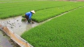 Retrait d'agriculteur tirant des jeunes plantes de riz banque de vidéos