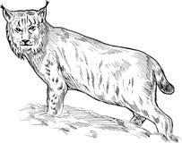 Retrait eurasien de lynx Photo stock