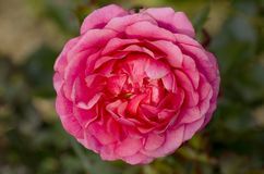 Retraite heureuse Rose Photographie stock