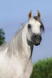 Retrato árabe blanco del caballo Foto de archivo