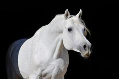 Retrato árabe blanco del semental del caballo Foto de archivo libre de regalías