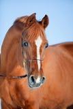 Retrato árabe del caballo Fotografía de archivo libre de regalías