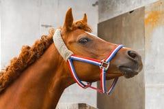 Retrato árabe del caballo del siglavi Fotos de archivo