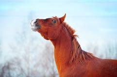 Retrato árabe del invierno del caballo Fotografía de archivo