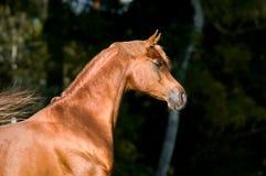 Retrato árabe del semental del caballo de la castaña Foto de archivo libre de regalías