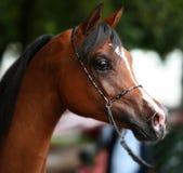 Retrato árabe do cavalo Fotos de Stock Royalty Free