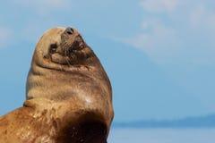 Retrato 1 do leão de mar imagem de stock royalty free