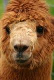 Retrato 2 da alpaca Imagens de Stock