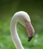 Retrato 3 do flamingo Fotos de Stock Royalty Free
