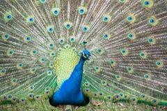 Retrato aberto da roda da pena maravilhosa do pássaro do pavão Fotografia de Stock Royalty Free