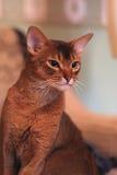 Retrato Abyssinian do gato Imagem de Stock