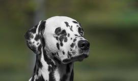 Retrato adorável bonito manchado do cão Dalmatian Imagens de Stock
