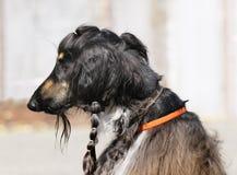 Retrato afgano del perro Foto de archivo