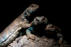 Retrato africano del lagarto del mastigure adornado foto de archivo libre de regalías