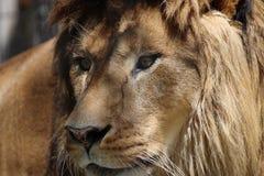 Retrato africano del león Imágenes de archivo libres de regalías