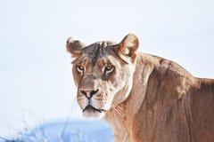 Retrato africano fêmea do leão, leoa Foto de Stock Royalty Free