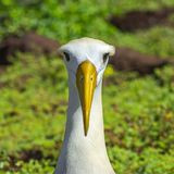 Retrato agitado del albatros, isla de Espanola, las Islas Gal?pagos imagenes de archivo