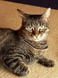 Retrato agradable del gato Fotos de archivo libres de regalías