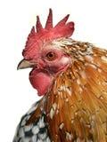 Retrato aislado del gallo Imagenes de archivo