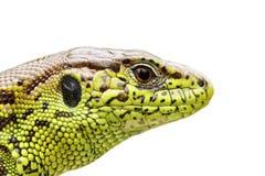 Retrato aislado del lagarto de arena Foto de archivo