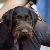 Retrato al aire libre del indicador del perro Alambre-cabelludo alemán de Draht-haar fotografía de archivo