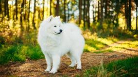 Retrato al aire libre del perro blanco del samoyedo Fotografía de archivo
