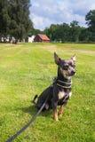 Retrato al aire libre del perro de la chihuahua Foto de archivo libre de regalías