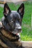 Retrato al aire libre del perro de la raza de la mezcla de Siberian Husky del pastor alemán foto de archivo libre de regalías