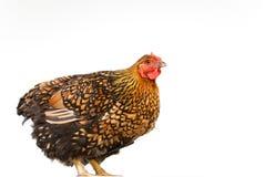 Retrato alaranjado e preto da galinha Foto de Stock Royalty Free